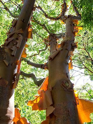 Paperbark maple trunk