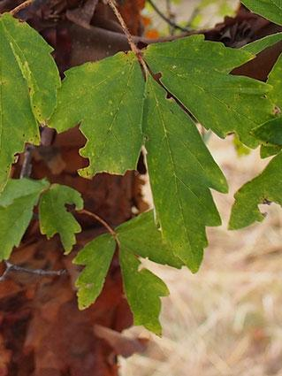Paperbark leaf