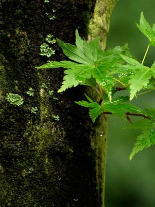 Japanese maple trunk