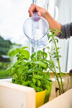 watering the kitchen herbs