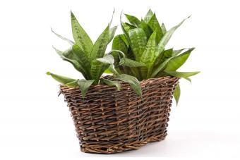 https://cf.ltkcdn.net/garden/images/slide/192016-850x567-sansevieria-house-plant.jpg