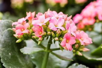 https://cf.ltkcdn.net/garden/images/slide/192021-850x567-Pink-Kalanchoe-flowers-on-stem.jpg