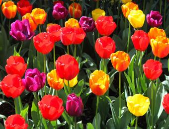 https://cf.ltkcdn.net/garden/images/slide/193870-668x510-Colorful-tulips.jpg