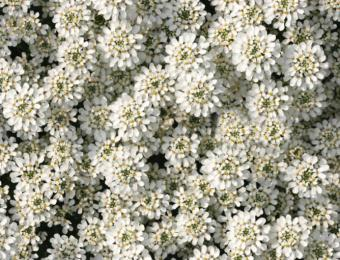https://cf.ltkcdn.net/garden/images/slide/193871-668x510-Candytuft-flowers.jpg