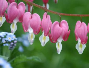 https://cf.ltkcdn.net/garden/images/slide/193872-668x510-Bleeding-Hearts.jpg