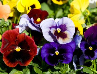 https://cf.ltkcdn.net/garden/images/slide/193886-668x510-Pansies-flowers.jpg