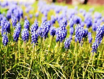 https://cf.ltkcdn.net/garden/images/slide/193895-668x510-Muscari-flowers.jpg