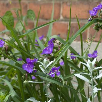 https://cf.ltkcdn.net/garden/images/slide/195366-850x850-Spiderwort-flower.jpg