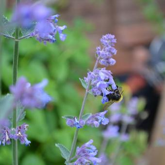 https://cf.ltkcdn.net/garden/images/slide/195369-850x850-Catmint-flower.jpg