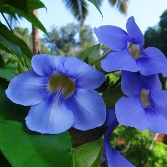 https://cf.ltkcdn.net/garden/images/slide/195374-846x846-Blue-skyflower.jpg