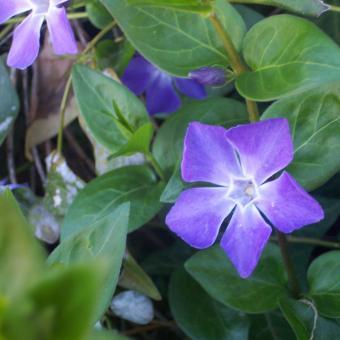 https://cf.ltkcdn.net/garden/images/slide/195376-850x850-Vinca-flower.jpg