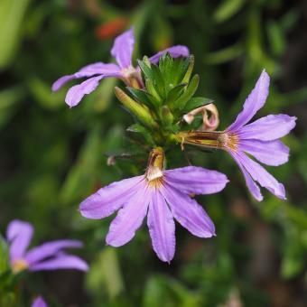 https://cf.ltkcdn.net/garden/images/slide/195377-850x850-Fairy-Fanflower.jpg