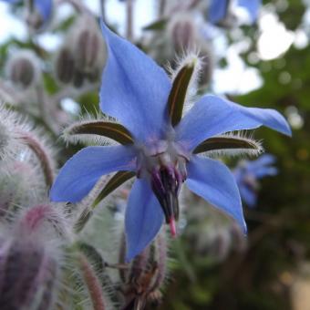 https://cf.ltkcdn.net/garden/images/slide/195383-850x850-Borage-flower.jpg