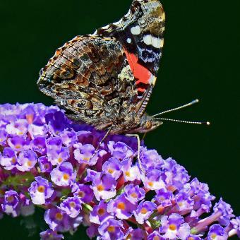 https://cf.ltkcdn.net/garden/images/slide/195386-850x850-Butterfly-bush.JPG