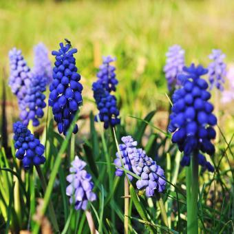 https://cf.ltkcdn.net/garden/images/slide/195387-850x850-Grape-hyacinth.JPG
