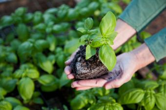 Basil Seedlings: Everything You Need to Know About Growing Them