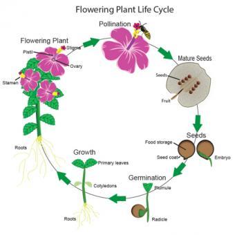 Flowering Plants Life Cycle