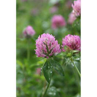 https://cf.ltkcdn.net/garden/images/slide/200041-668x668-Red-clover.jpg