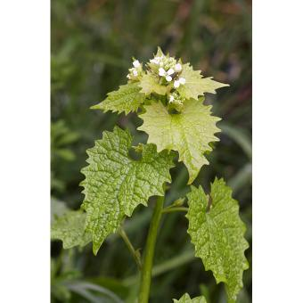 https://cf.ltkcdn.net/garden/images/slide/200042-668x668-Garlic-Mustard.jpg
