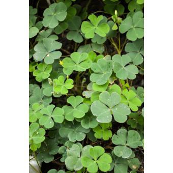 https://cf.ltkcdn.net/garden/images/slide/200043-668x668-Wood-sorrel.jpg