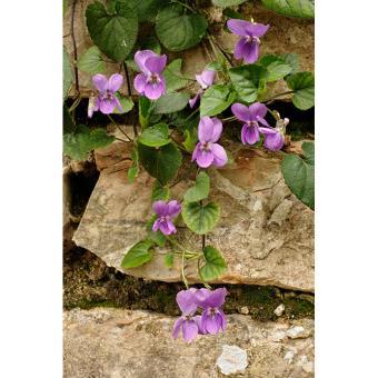 https://cf.ltkcdn.net/garden/images/slide/200044-668x668-Wood-violet.jpg