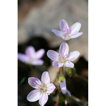 https://cf.ltkcdn.net/garden/images/slide/200055-668x668-Spring-Beauty.jpg