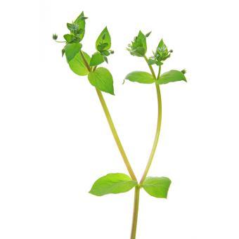 https://cf.ltkcdn.net/garden/images/slide/200056-668x668-Chickweed-weed.jpg