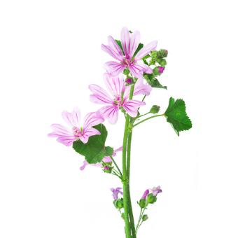https://cf.ltkcdn.net/garden/images/slide/200058-668x668-Mallow-weed.jpg