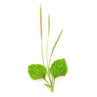 https://cf.ltkcdn.net/garden/images/slide/200059-668x668-Plantain-weed.jpg