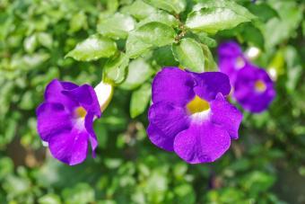 https://cf.ltkcdn.net/garden/images/slide/201562-850x567--Bush-Clock-Vine.jpg