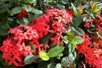 https://cf.ltkcdn.net/garden/images/slide/201564-850x567--Ixora-image.jpg