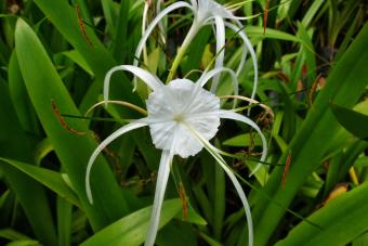 https://cf.ltkcdn.net/garden/images/slide/201569-850x567--Spider-lily.jpg