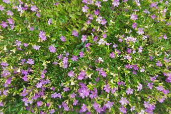 https://cf.ltkcdn.net/garden/images/slide/201572-850x567--Mexican-heather.jpg