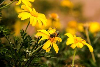https://cf.ltkcdn.net/garden/images/slide/201573-850x567--African-bush-daisy.jpg