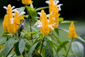 https://cf.ltkcdn.net/garden/images/slide/201576-850x567--Golden-shrimp-plant.jpg