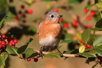 https://cf.ltkcdn.net/garden/images/slide/203059-850x567-birdwithhberrytree.jpg