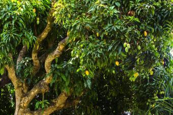 Growing Mango Trees