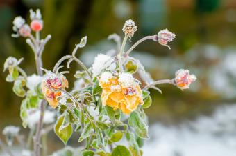 Drooping frosted roses