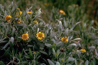 Borrichia frutescens (L.) DC. - bushy seaside tansy