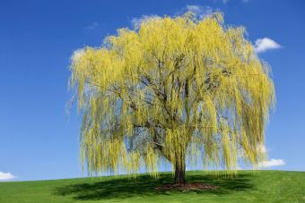 Spring Weeping Willow against blue sky