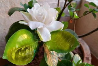 sick gardenia