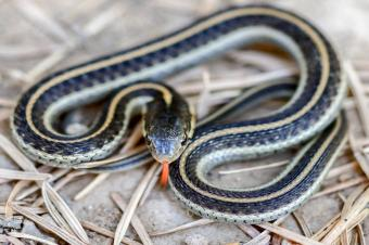 https://cf.ltkcdn.net/garden/images/slide/214204-850x566-coast-garter-snake.jpg