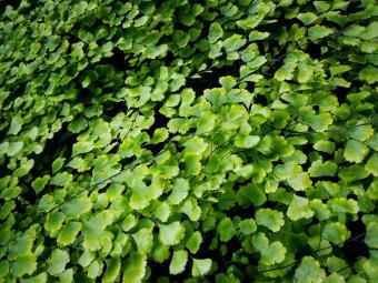 Maidenhair ferns - Adiantum