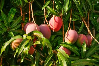 Healthy mango fruit can be yours with proper tree maintenance.