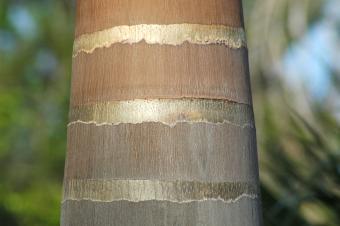 Royal palm trunk