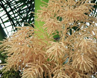royal palm flowers