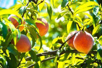 Peach Tree Diseases