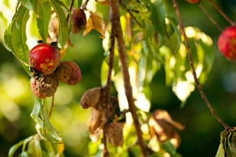 Peach Tree Rot