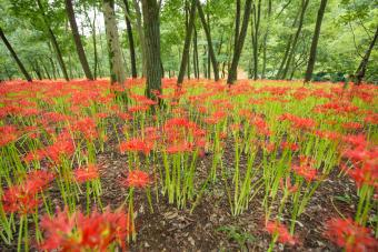 How to Plant and Care for the Red Spider Lily
