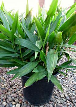 ginger houseplant
